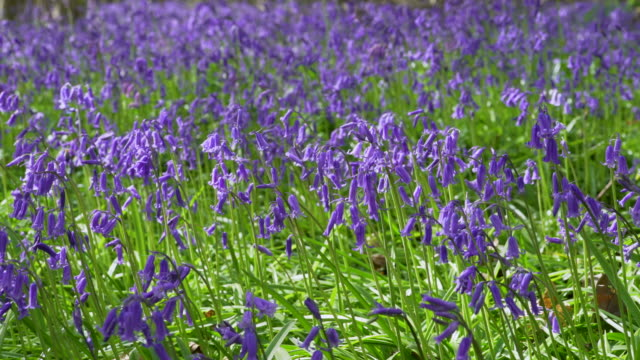 Bluebells moving in breeze
