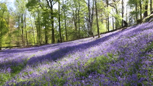 bluebells near ambleside in the english lake district, cumbria, uk. - wildflower stock videos & royalty-free footage