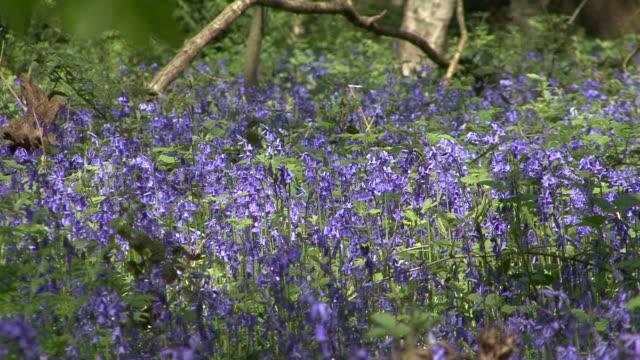 bluebells (hyacinthoides non-scripta) - surrey england stock videos & royalty-free footage