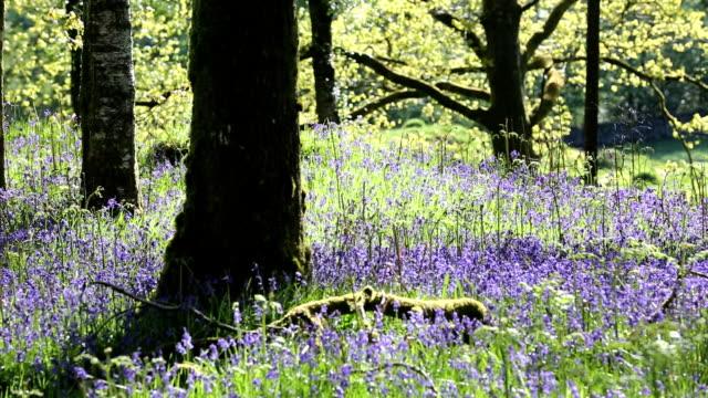 bluebells - wildflower stock videos & royalty-free footage