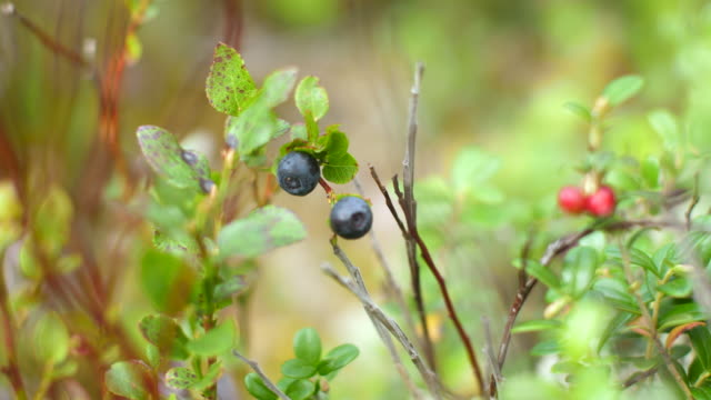 blueberries and lingonberries - swedish culture stock videos & royalty-free footage