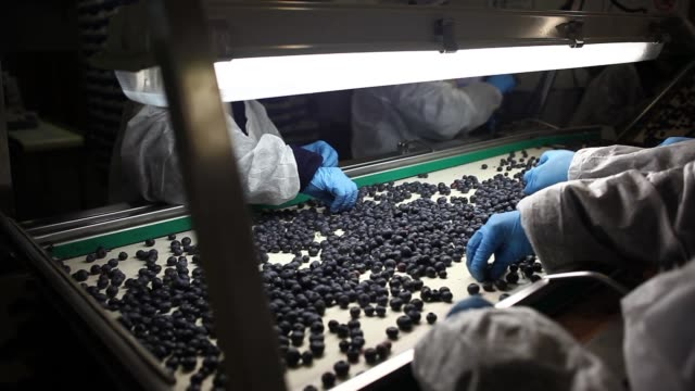 vidéos et rushes de blueberries move on conveyor belts for quality check at the packing facility barries del plata zarate buenos aires argentina on wednesday nov 9 2017... - conditionnement