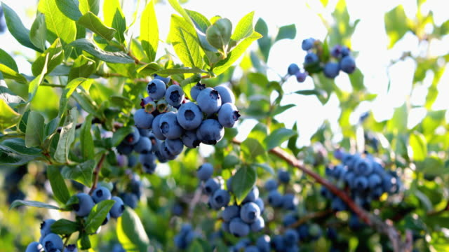 blueberries on the bush - bush stock videos & royalty-free footage
