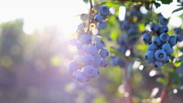 blueberries on the bush - blueberry stock videos & royalty-free footage