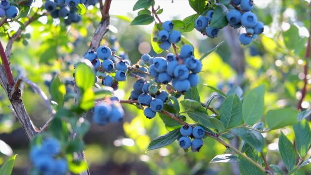 blueberries on the bush - uncultivated stock videos & royalty-free footage