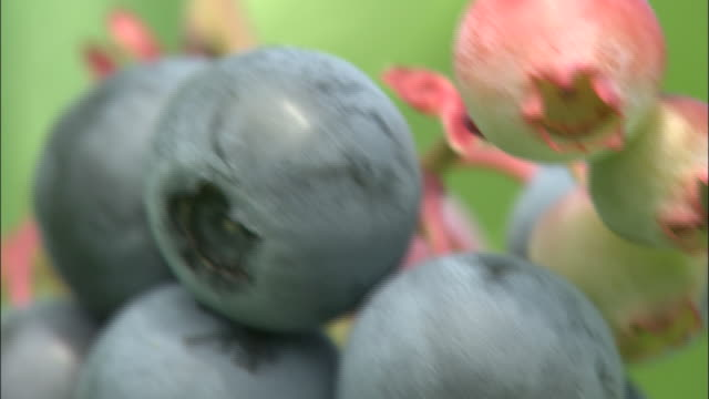 Blueberries ripen in the sun.