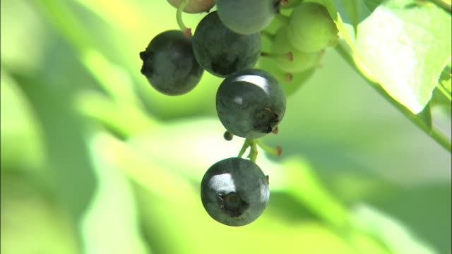 blueberries ripen on a vine. - blueberry stock videos & royalty-free footage