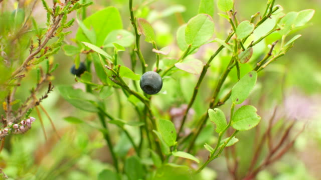 blueberries - swedish culture stock videos & royalty-free footage