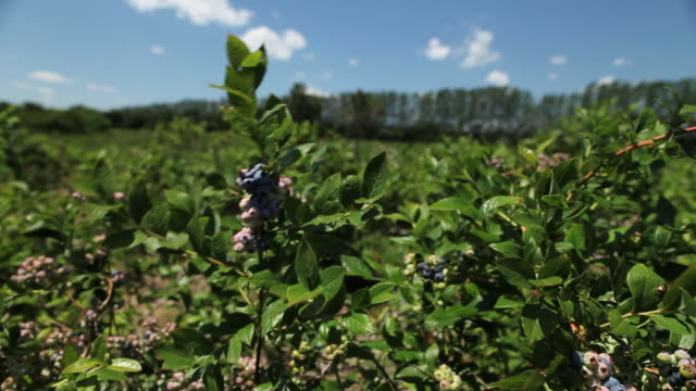ms blueberry bushes blowing in wind / milton, ontario, canada - blueberry stock videos & royalty-free footage