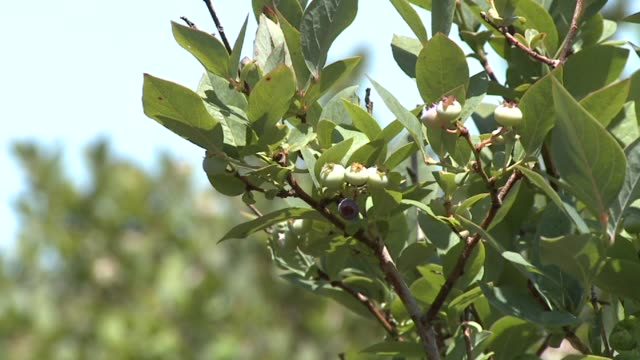 blueberry farm on july 07, 2010 in grand rapids, michigan - blueberry stock videos & royalty-free footage
