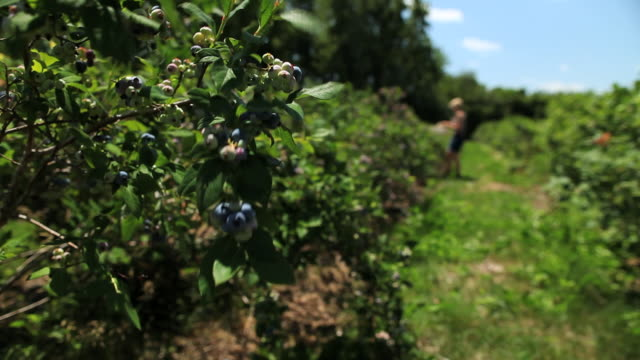 ms blueberry field with blueberry bush blowing in wind and lady picking blueberries / milton, ontario, canada - obstbaum stock-videos und b-roll-filmmaterial