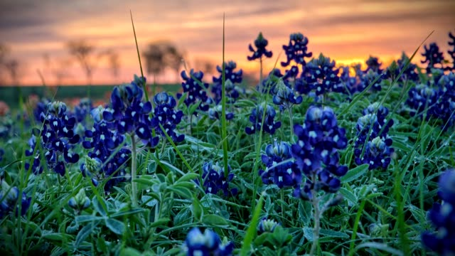 bluebonnet timelapse - texas stock videos & royalty-free footage