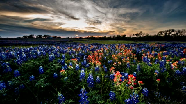 stockvideo's en b-roll-footage met bluebonnet wildflower timelapse - texas