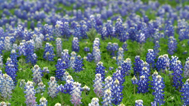 bluebonnets and ghost bluebonnets - wildflower stock videos & royalty-free footage