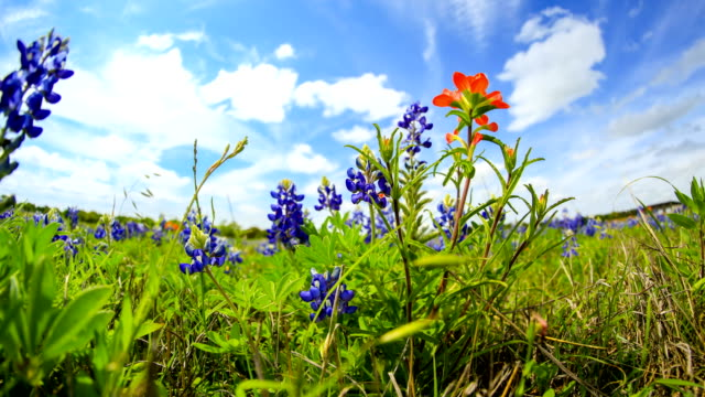 bluebonnets from austin, tx - floral pattern stock videos & royalty-free footage