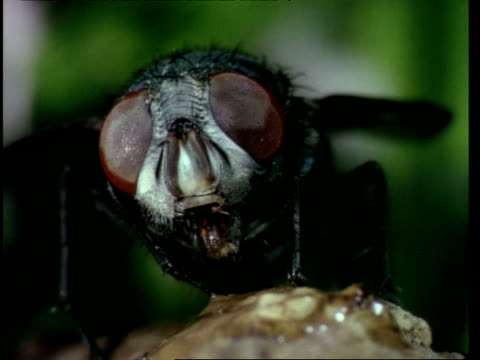 vídeos de stock, filmes e b-roll de bcu bluebottle fly head showing compound eyes - medo