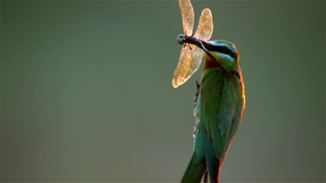 blue-cheeked bee-eater - animals hunting stock videos & royalty-free footage