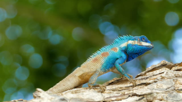 blue-crested lizard in tropical rain forest. - south east asia stock videos & royalty-free footage