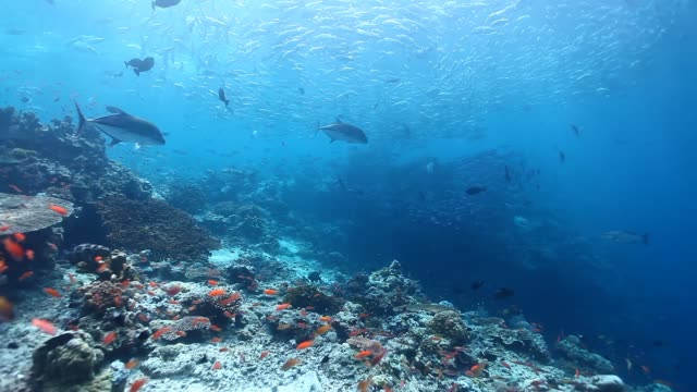 ws ts bluefin trevalies and white tip reef shark hunting school of fusiliers with schooling jack fish in the background / sipadan, semporna, tawau, malaysia - school of fish stock videos & royalty-free footage