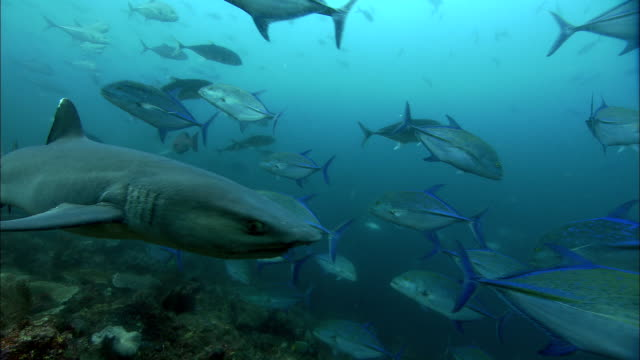bluefin trevallies (caranx melampygus) and white tip reef shark swim over reef, west papua, indonesia - oceanic white tip shark stock videos & royalty-free footage