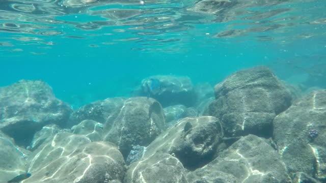 vídeos de stock, filmes e b-roll de rabilho trevally - vida no mar