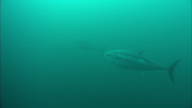 Bluefin tuna (Thunnus thynnus), Atlantic Ocean, Ireland