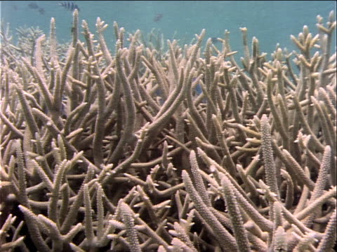 bluefish swim in and around coral formations. - invertebrate stock videos & royalty-free footage