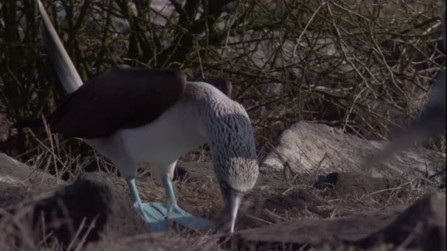 a blue-footed booby lands and presents nesting material to its mate. available in hd. - ガラパゴス諸島点の映像素材/bロール