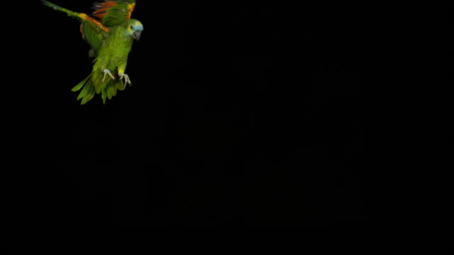 vídeos de stock e filmes b-roll de blue-fronted amazon parrot or turquoise-fronted amazon parrot, amazona aestiva, adult in flight, slow motion 4k - fundo preto
