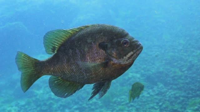 bluegill slow motion - mondfisch meeresfisch stock-videos und b-roll-filmmaterial