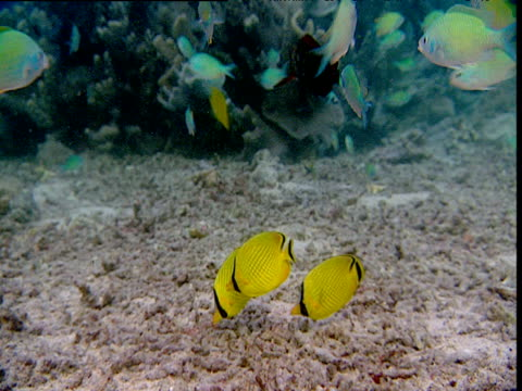 Blue-green chromis attack and scare off latticed butterflyfishes which are feeding on their brood, Sulawesi