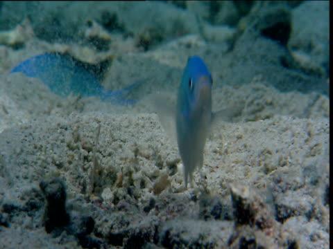 Blue-green chromis displays in spawning site on sea floor, Sulawesi