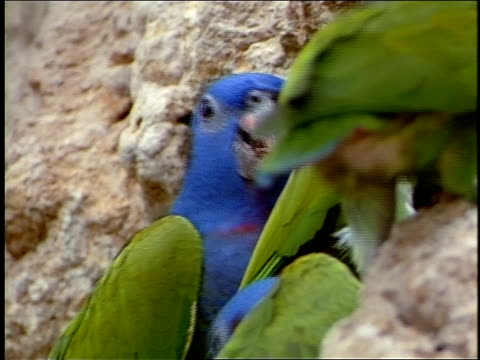 stockvideo's en b-roll-footage met blue-headed parrots eat clay. - dierlijke mond