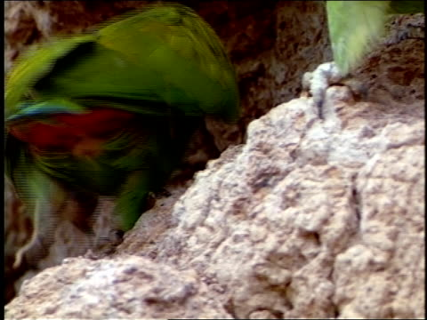 stockvideo's en b-roll-footage met blue-headed parrots peck at clay. - dierlijke mond