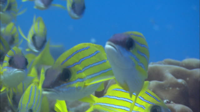 vidéos et rushes de bluelined snappers, lutjanus kasmira, shoal, aldabra, indian ocean  - corail cnidaire
