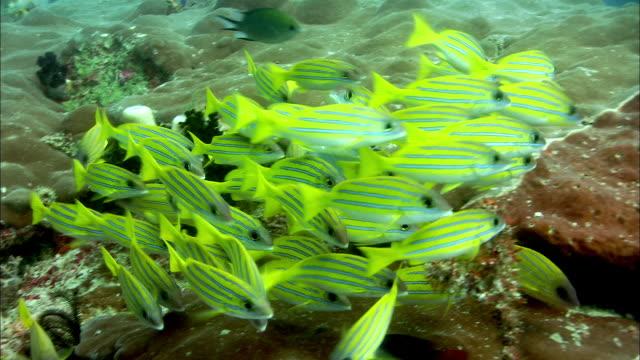 vídeos de stock e filmes b-roll de blue-lined snappers (lutjanus kasmira) swim over coral reef, west papua, indonesia - lutjanídeo