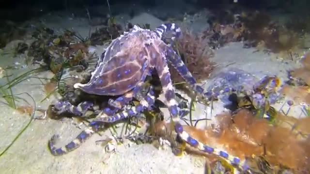 blue-ringed octopus and crab sized each other up in an encounter in port philip bay off the coast of victoria, australia, with footage of the... - tentacle stock videos & royalty-free footage
