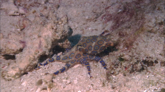 blue-ringed octopus (hapalochlaena lunulata) on coral reef, west papua, indonesia - poisonous stock videos & royalty-free footage