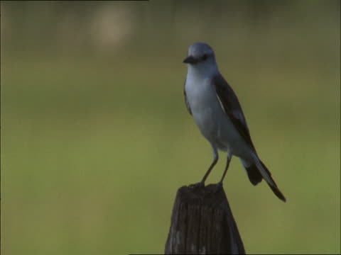 a blue-rock thrush perches on a tree stump. - paletto da cricket video stock e b–roll