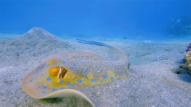bluespotted ribbontail ray in red sea - marsa alam / red sea - invertebrate stock videos & royalty-free footage