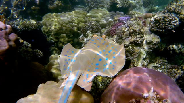 bluespotted ribbontail ray on coral reef - red sea - bluespotted stingray stock videos & royalty-free footage