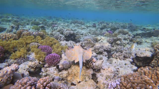 vídeos y material grabado en eventos de stock de rayo de cola de cinta con manchas azules nadando en el mar rojo - marsa alam - egipto - organismo acuático