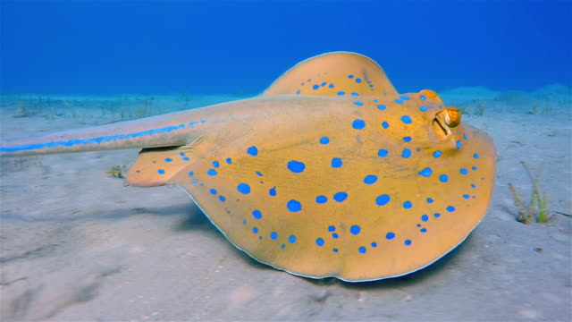 bluespotted ribbontail ray swimming on red sea - stingray stock videos and b-roll footage