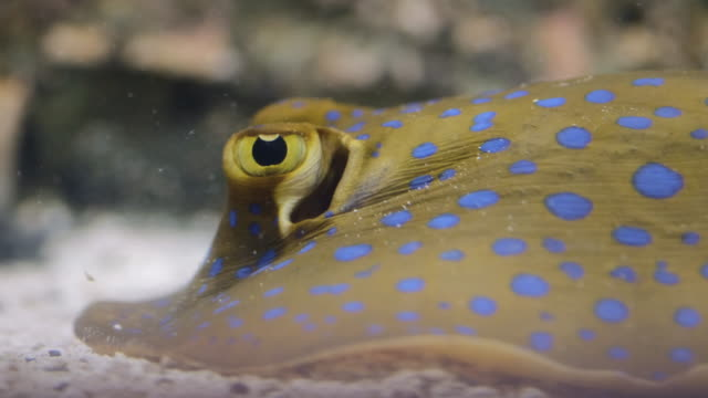 bluespotted ribbontail ray - bluespotted stingray stock videos & royalty-free footage