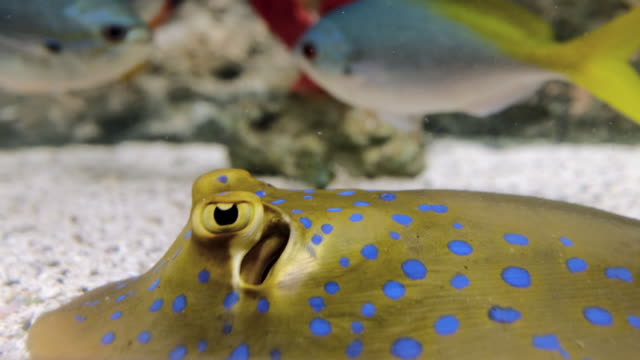 bluespotted ribbontail ray - stingray stock videos and b-roll footage