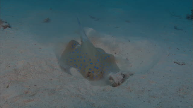 blue-spotted ribbontail stingray digging in sand, egypt, red sea  - bluespotted stingray stock videos & royalty-free footage