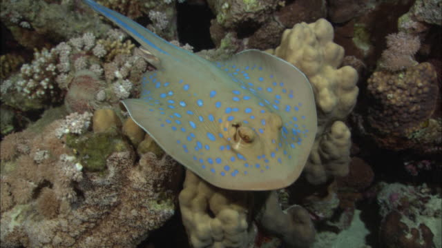 blue-spotted ribbontail stingray on sand looking for food, egypt, red sea  - stingray stock videos and b-roll footage