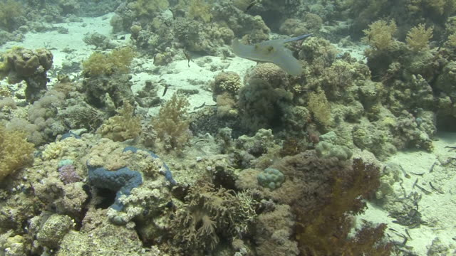 bluespotted sting ray - bluespotted stingray stock videos & royalty-free footage
