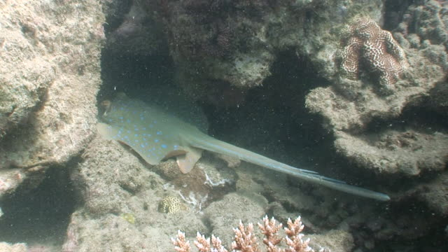 ms bluespotted stingray hiding in coral reef  audio / queensland, australia - bluespotted stingray stock videos & royalty-free footage