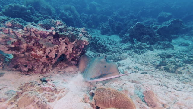 bluespotted stingray neotrygon kuhlii swimming on underwater coral reef - bluespotted stingray stock videos & royalty-free footage